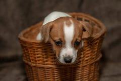 杰克罗素在一个柳条筐外面的小狗攀登 库存照片