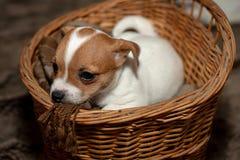 杰克罗素在一个柳条筐外面的小狗攀登 免版税图库摄影