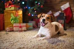 杰克罗素在与礼物和蜡烛的一棵圣诞树下celebr 免版税库存图片