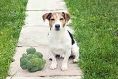 杰克罗素坐用硬花甘蓝的狗狗室外 库存照片