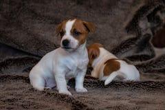 杰克罗素小狗坐一条棕色毯子 库存照片