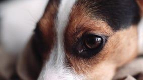 杰克罗素狗在他的地方放置的小狗品种 股票录像