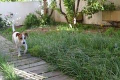 杰克罗素狗在围场 免版税库存图片