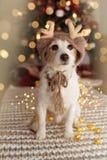 杰克罗素狗在圣诞树下点燃庆祝戴驯鹿帽子的假日 免版税图库摄影