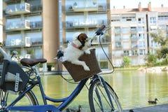杰克罗素狗在自行车篮子坐夏日佩带 库存图片