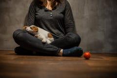 杰克罗素狗小狗上升了在一个木地板上的女孩的膝盖上 库存图片