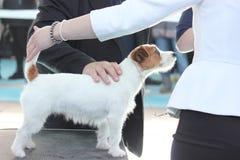 杰克罗素狗有从他的老师的一检查 库存照片