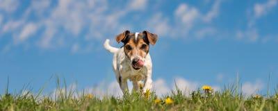 杰克罗素狗狗在天空蔚蓝前面的开花的春天草甸 图库摄影