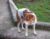 杰克罗素狗狗自立 免版税库存图片