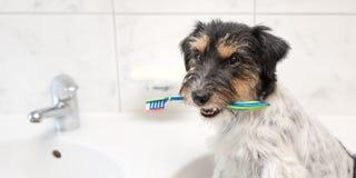 杰克罗素狗狗藏品牙刷 准备刷牙避免需要对于牙医 免版税库存图片