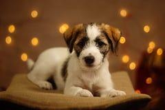 杰克罗素逗人喜爱的小的小狗画象 免版税图库摄影