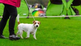 杰克罗素terier在狗展示 免版税库存图片