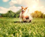 杰克罗素与大老球的狗戏剧 免版税库存图片