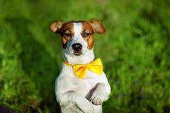 杰克罗素与黄色蝶形领结的狗狗坐草 库存照片