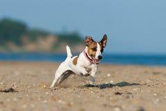 杰克罗素在海滩的狗狗 免版税库存图片