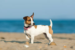 杰克罗素在海滩的狗狗 库存照片