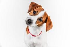 杰克罗素在站立在白色背景的一把椅子的红色衣领的狗小狗 免版税图库摄影
