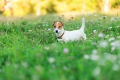 杰克罗素在草的狗小狗 库存照片