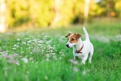 杰克罗素在草的狗小狗 免版税库存照片