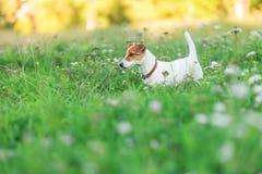 杰克罗素在草的狗小狗 免版税库存图片