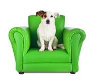 杰克罗素坐一把绿色扶手椅子 库存照片