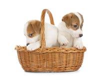 杰克罗素坐在篮子的狗小狗 库存图片
