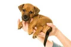 杰克罗素小狗在白色隔绝的手上举行了 免版税图库摄影