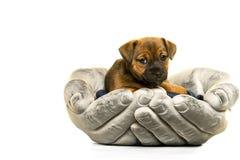 杰克罗素小狗在白色隔绝的手上举行了 免版税库存图片