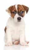杰克罗素小狗白色背景 免版税库存照片