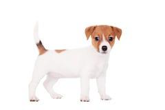 杰克罗素小狗(1,5个月大)在白色 免版税库存图片