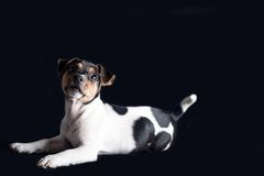 杰克罗素小狗 图库摄影