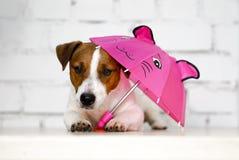 杰克罗素拿着白色brik墙壁的桃红色伞前面狗狗 免版税库存图片