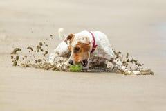 杰克罗素教区牧师狗的高速行动 免版税图库摄影