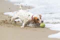 杰克罗素教区牧师狗的高速行动 免版税库存图片