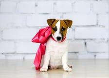 杰克罗素狗与桃红色丝带的狗小狗 免版税图库摄影