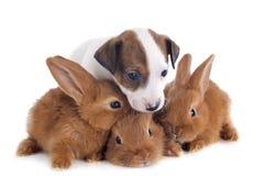 杰克罗素狗和兔宝宝 库存照片