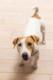 杰克罗素狗在家 免版税库存照片