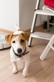杰克罗素狗在家 库存照片