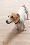 杰克罗素狗在家 库存图片