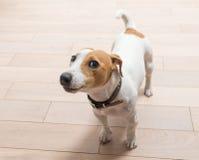 杰克罗素狗在家 免版税库存图片