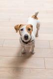 杰克罗素狗在家 免版税图库摄影