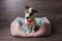 杰克罗素狗在懒人狗床上 库存照片