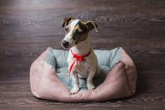 杰克罗素狗在懒人狗床上 免版税库存照片