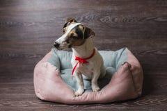 杰克罗素狗在懒人狗床上 免版税库存图片