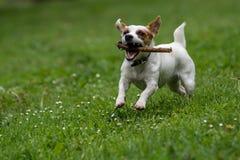 杰克罗素狗在春天庭院 选择聚焦 免版税图库摄影