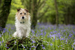 杰克罗素狗在有会开蓝色钟形花的草的森林 库存图片