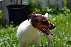 杰克罗素狗在围场 免版税库存照片