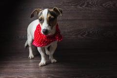 杰克罗素狗摆在 免版税库存照片