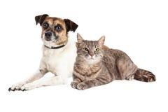 杰克罗素狗狗和虎斑猫 图库摄影