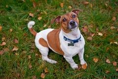 杰克罗素狗狗在看照相机的公园 图库摄影